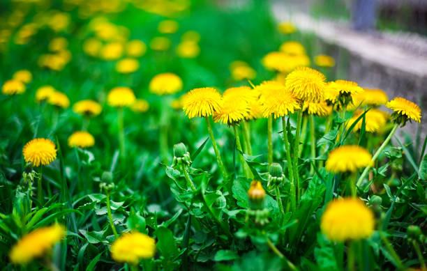 노란색 민들레 아이리스입니다 - 꽃밥 뉴스 사진 이미지