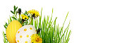 Yellow dandelion flowers and Easter painted eggs with green grass