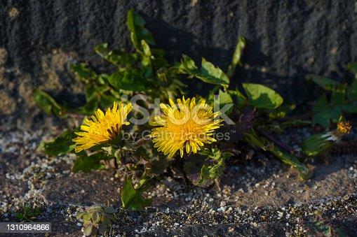 Taraxacum officinale blossom in the sun