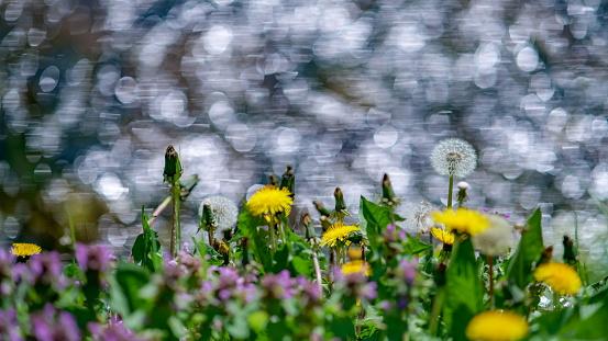 Dandelion field on a sunny meadow.