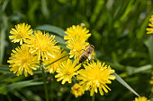 Yellow dandelion flowers with a honey
