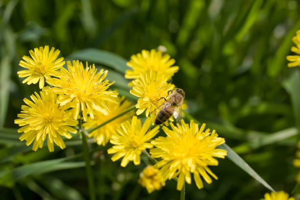 Yellow dandelion flowers with a honey stock photo