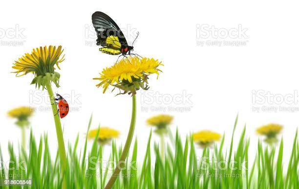 Yellow dandelion flowers with butterfly and ladybug in grass picture id918608846?b=1&k=6&m=918608846&s=612x612&h=yvzx4 tokpfhsscwm3hnhw oo5ktd7bs1jsqww80jqu=