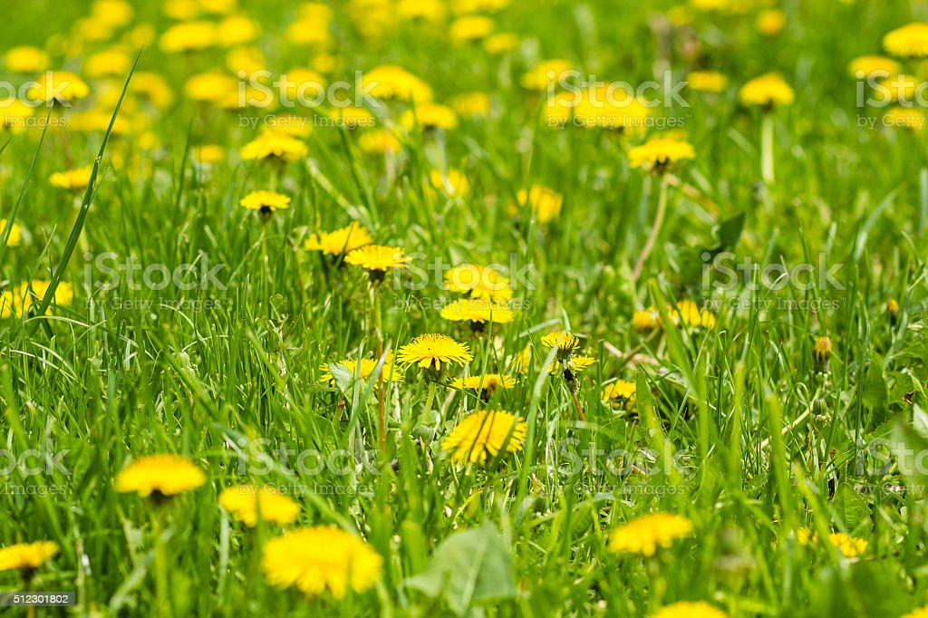 Yellow dandelion flowers with leaves in green grass stock photo