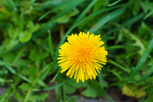 Yellow dandelion on a background of green grass Closeup. Top view.