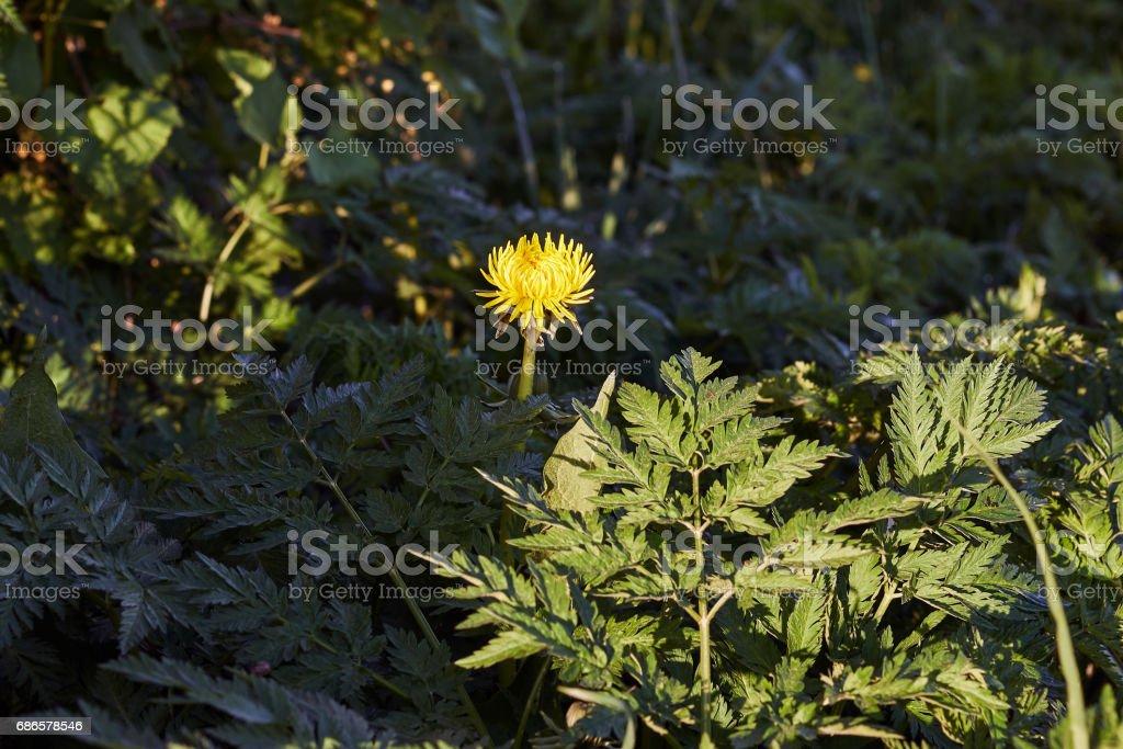 Gele paardebloem royalty free stockfoto