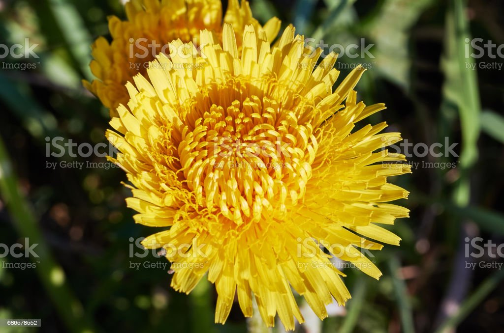 Yellow dandelion royalty-free stock photo