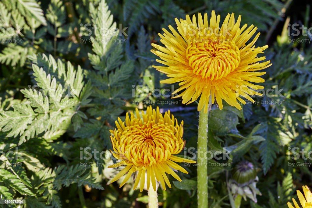 Yellow dandelion zbiór zdjęć royalty-free