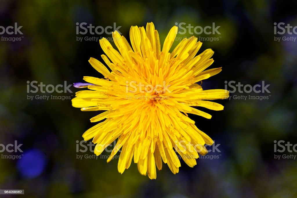 yellow dandelion - Royalty-free Agricultural Field Stock Photo
