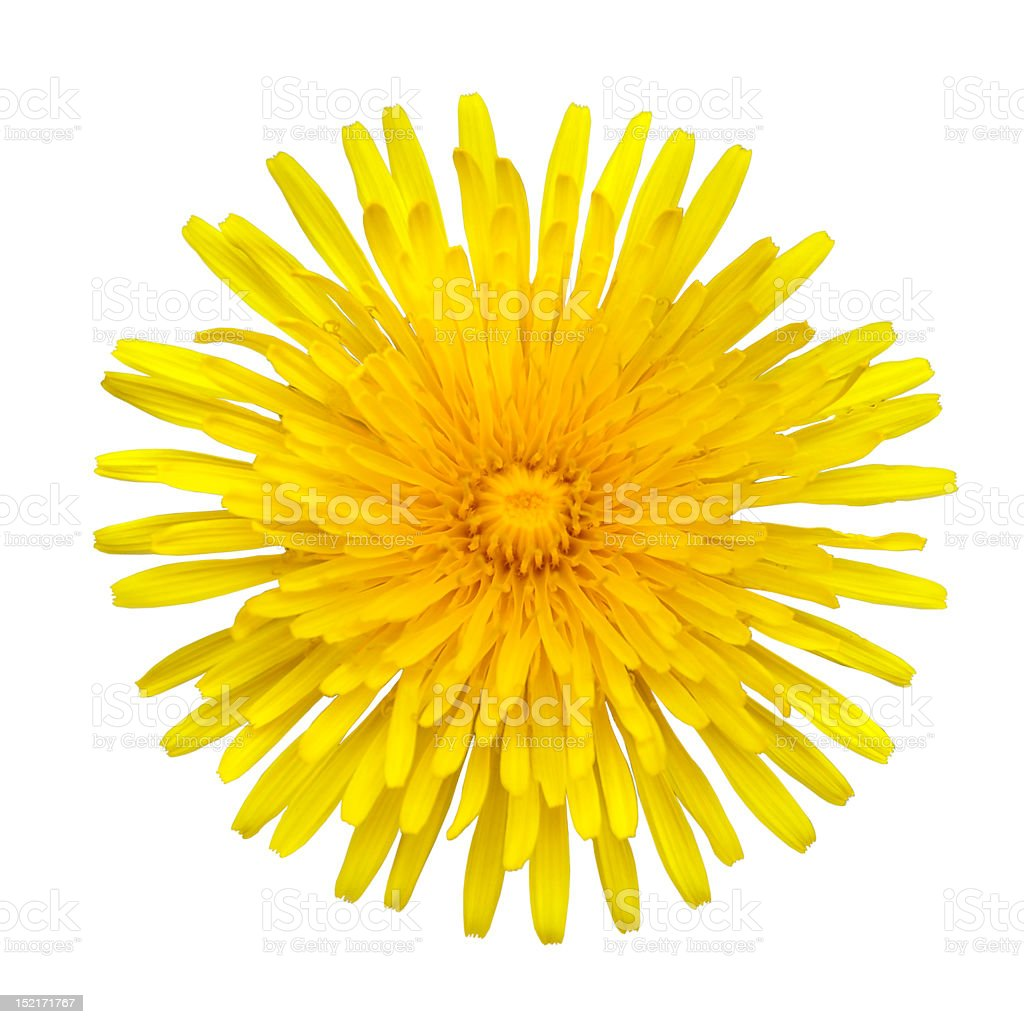 Yellow Dandelion - Taraxacum officinale  Isolated on White royalty-free stock photo