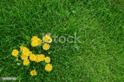 Yellow dandelions and green grass.