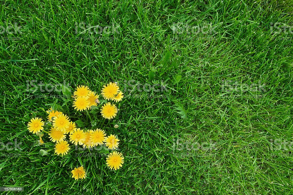 Yellow dandelions and green grass stock photo