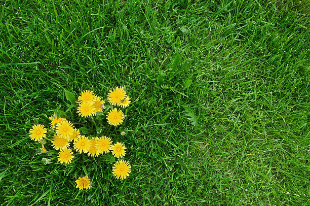 yellow dandelions and green grass - paardenbloem stockfoto's en -beelden