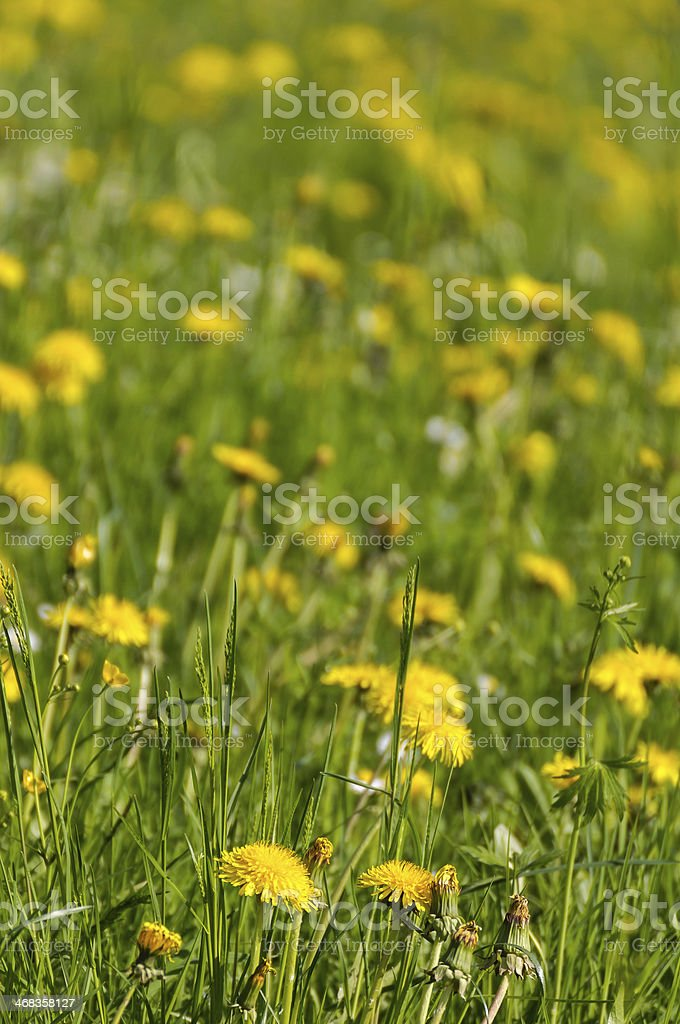Yellow dandelions and green grass royalty-free stock photo