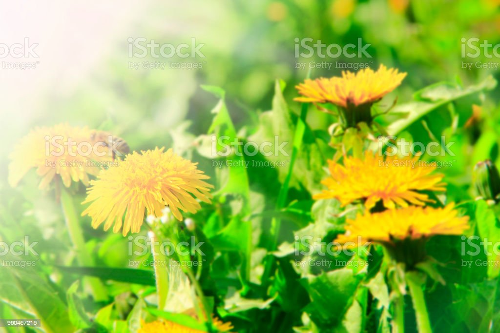Yellow dandelions grow in green grass. Spring flowers in sunny rays stock photo