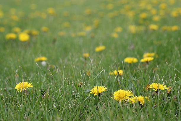 Yellow dandelions in the green grass stock photo