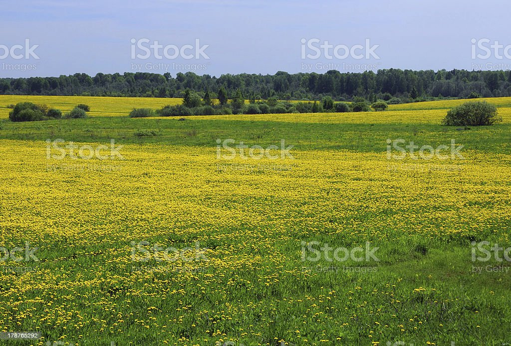 Yellow Dandelions royalty-free stock photo