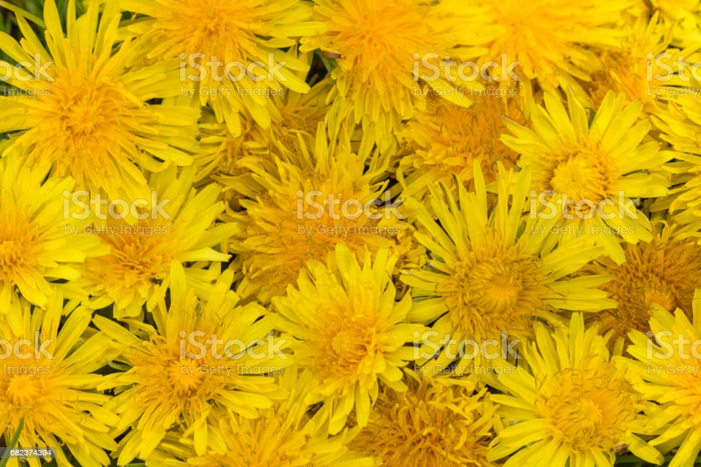 yellow dandelions stock photo