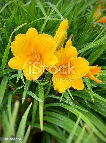 Close up view of yellow day lilies with raindrops