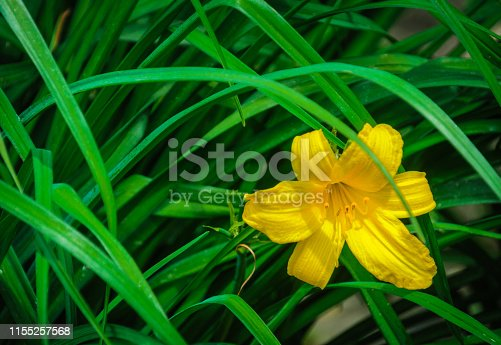 A single yellow day lily against a background of green leaves