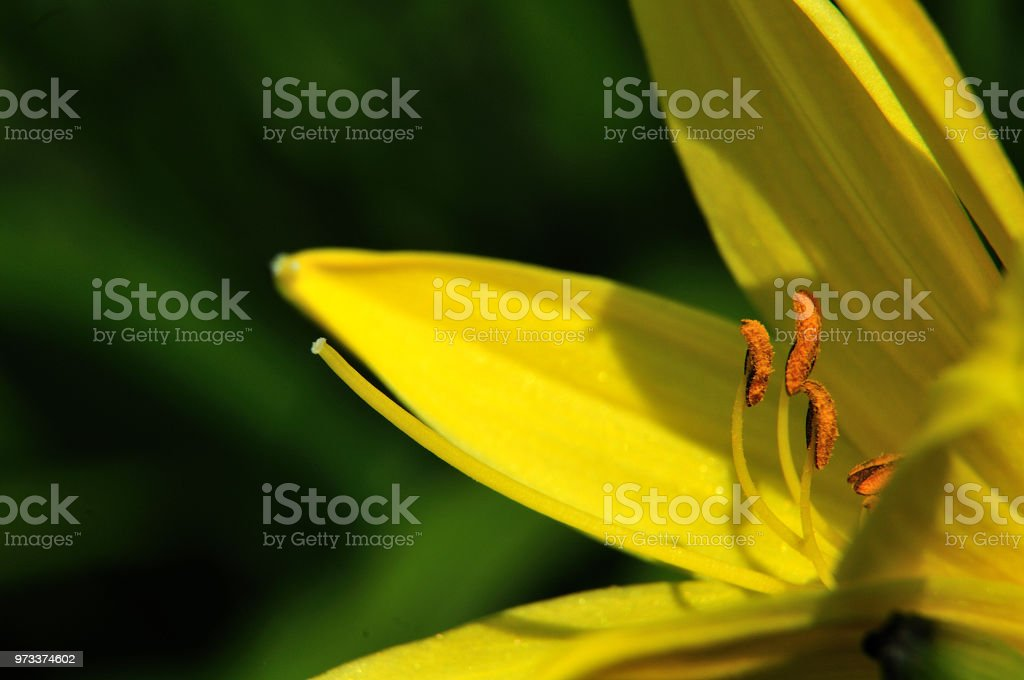 Gelbe day lily – Foto