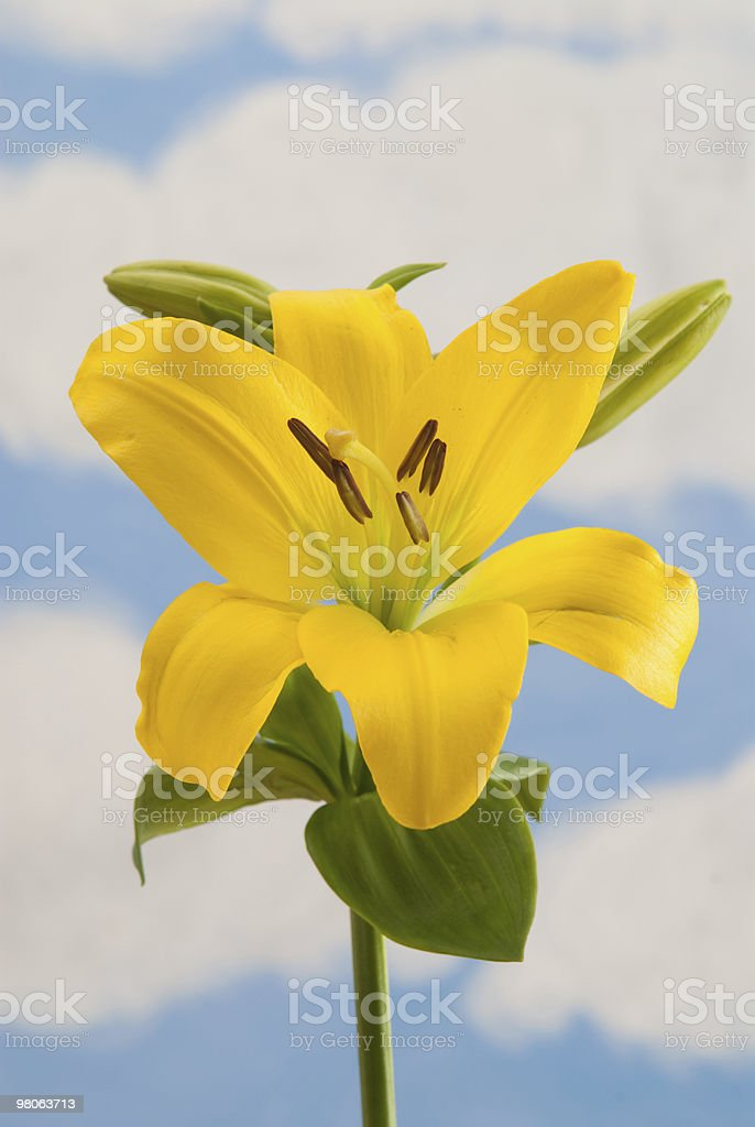 Yellow Day Lily royalty-free stock photo