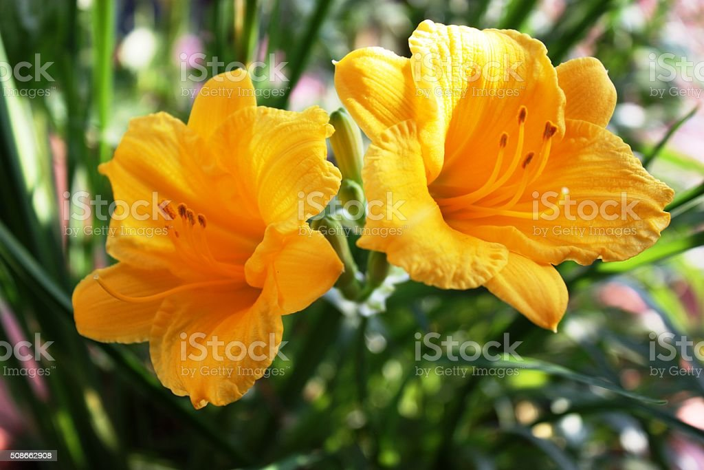 Yellow daylilies in the garden stock photo
