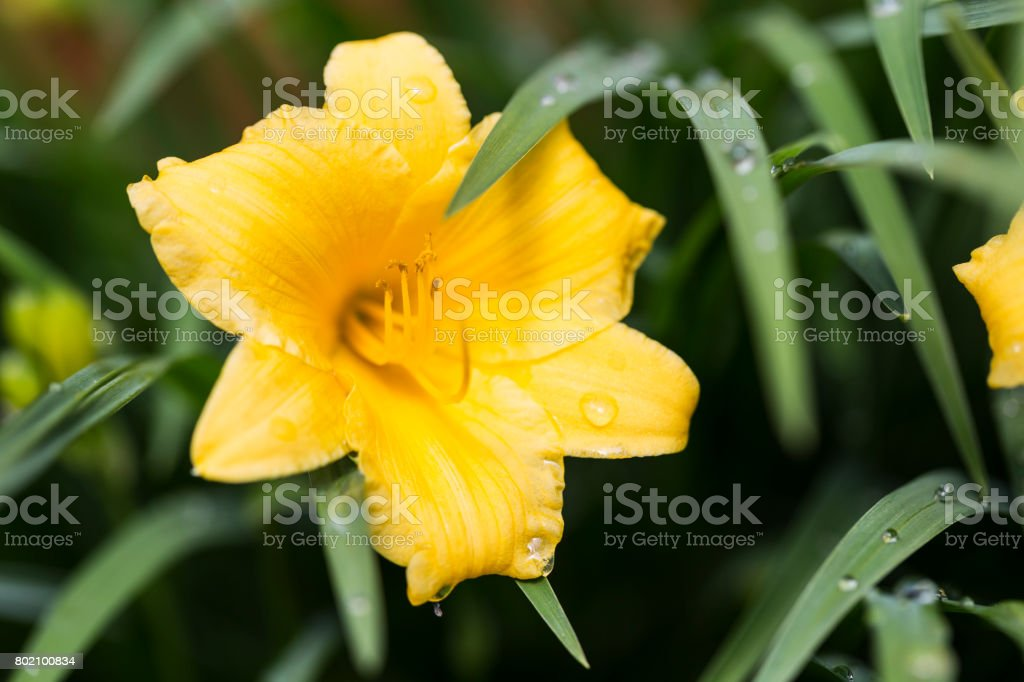 Yellow Daylily and Leaves stock photo