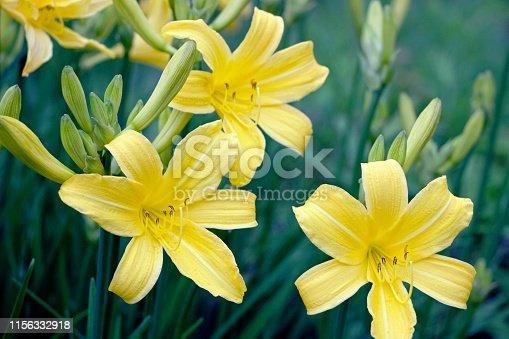 yellow daylily flower bushes in garden