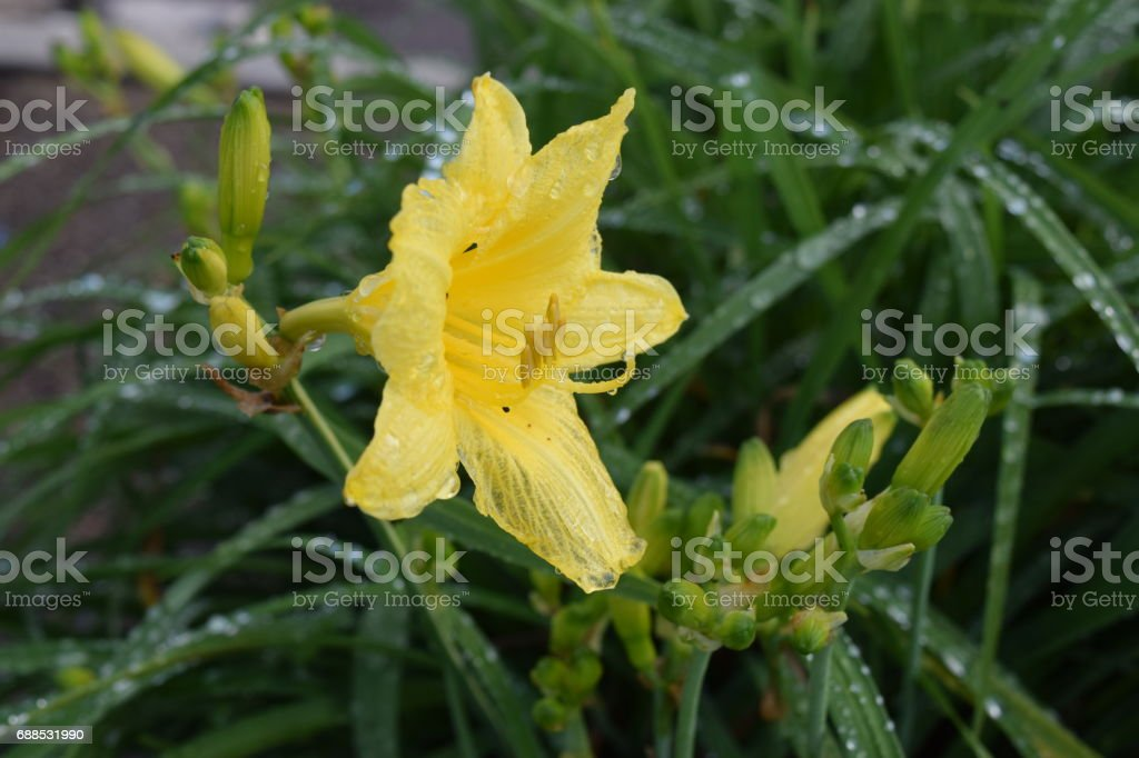 Yellow daylily flower in bloom stock photo