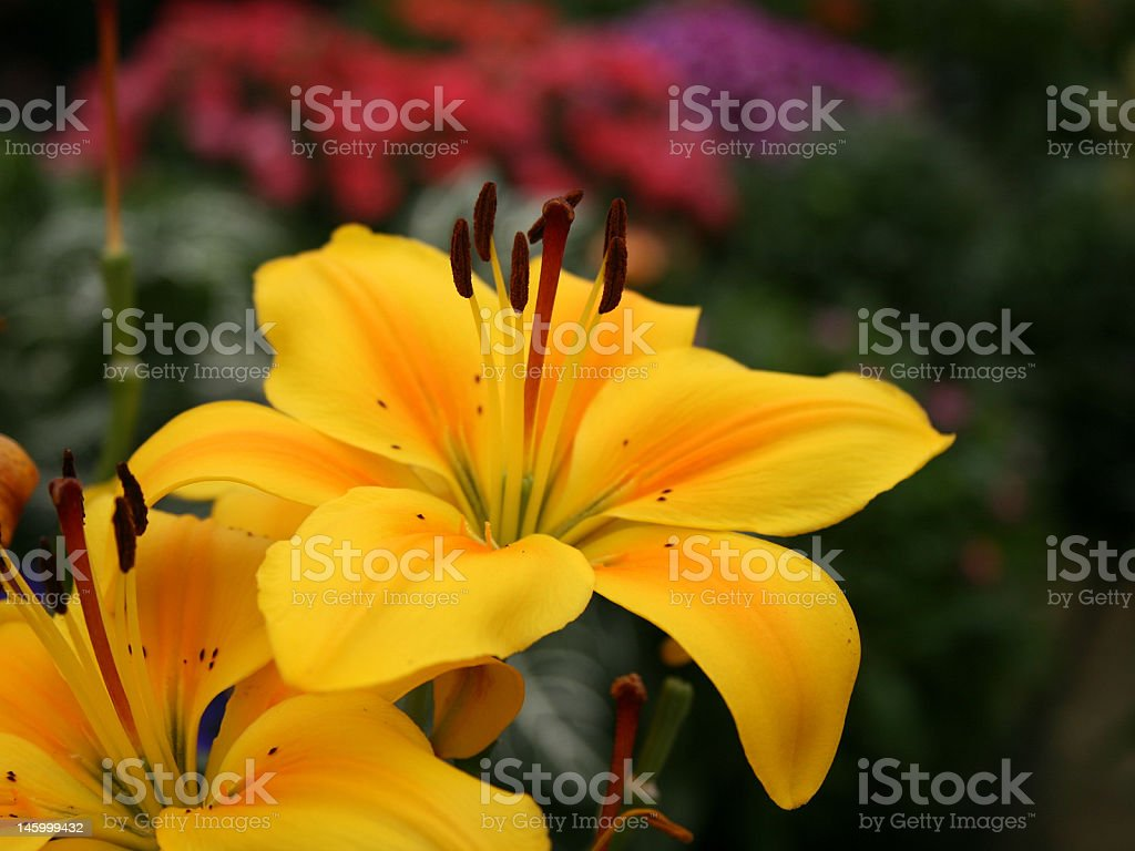Yellow DayLily Flower stock photo