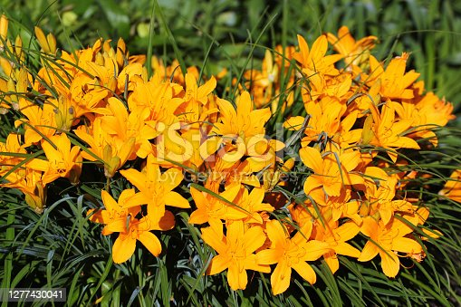 Yellow daylily flowers in a garden