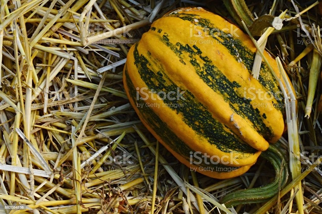 Yellow decorative pumpkin Cucurbita Pepo with green stripes and vertical fissure, named Camo Camo, placed on hay covered ground stock photo