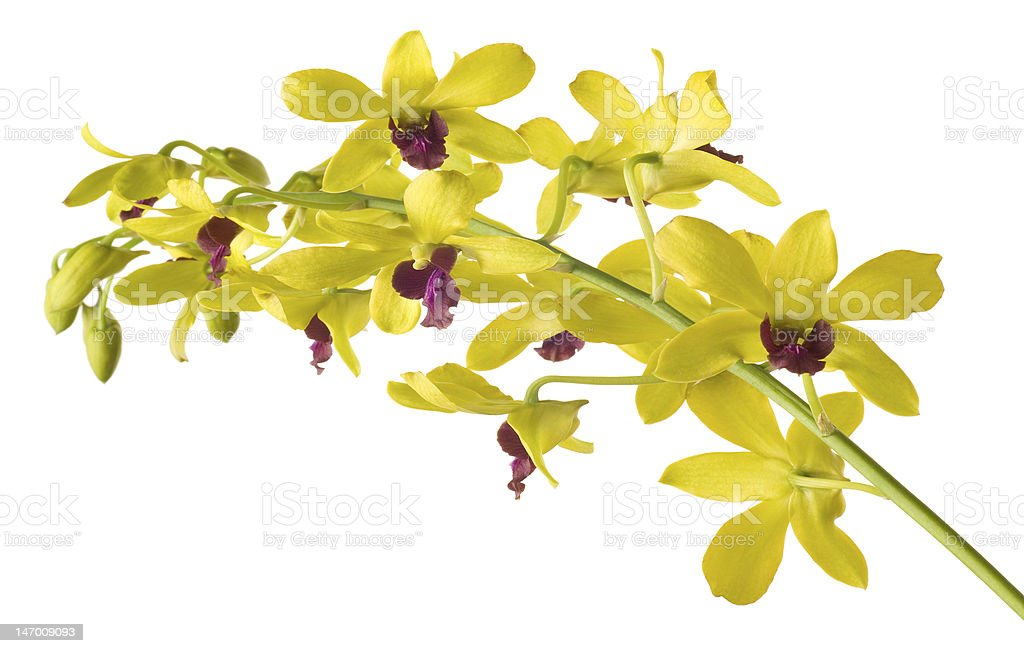 Yellow  Dendrobium Orchid on White Background stock photo