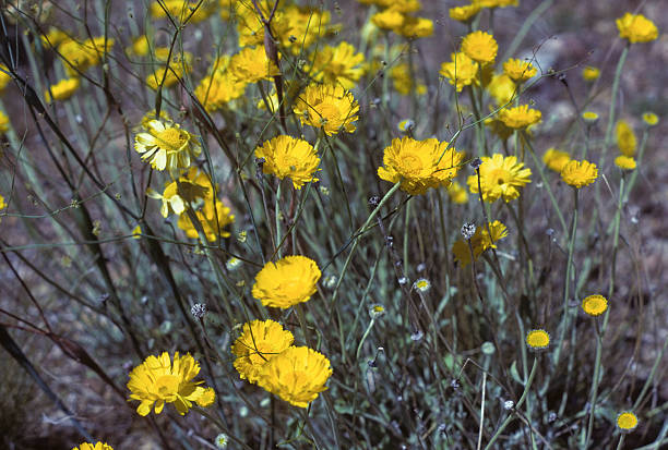 yellow desert wildflowers Wildflowers found in the Arizona desert. Extreme depth of field so background is separated from foreground. hearkencreative stock pictures, royalty-free photos & images
