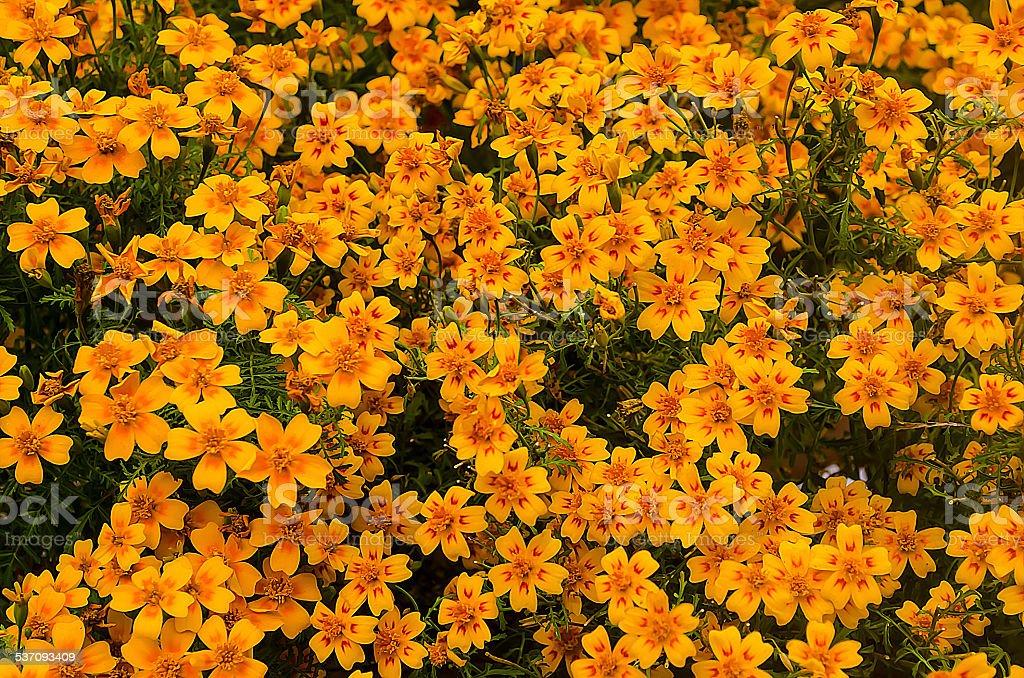 Yellow dianthus flowers stock photo