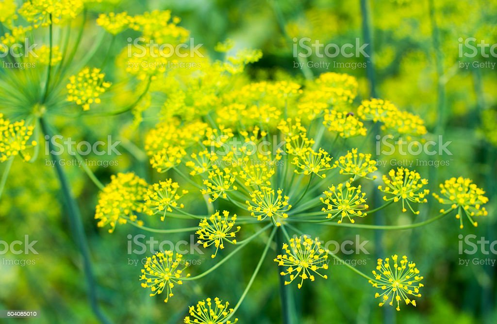 Yellow dill flowers stock photo