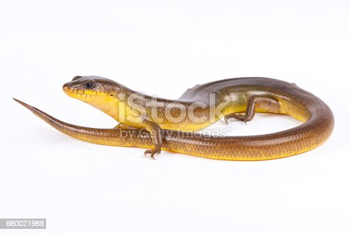 Yellow diving skink, Amphiglossus astrolabi