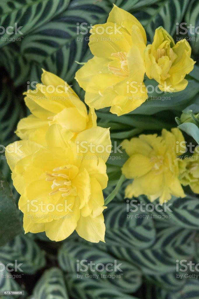 Sarı Çift Kişilik Lale çiçek royalty-free stock photo