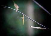 Yellow dragonfly hanging from stick in forest