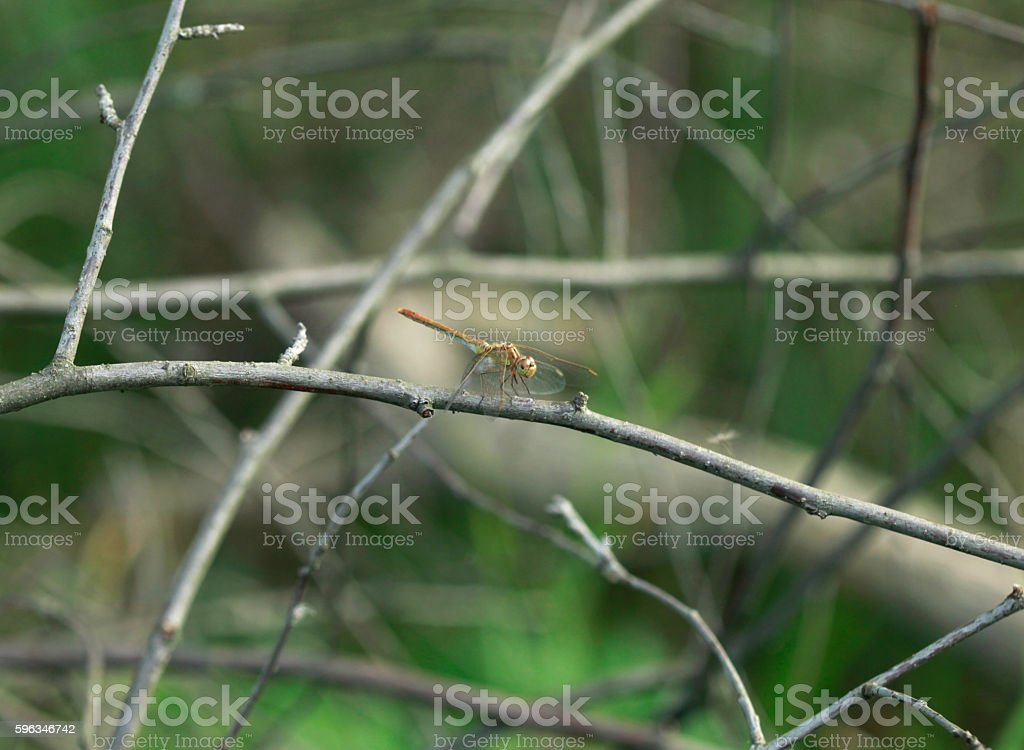 yellow dragonfly on twig royalty-free stock photo