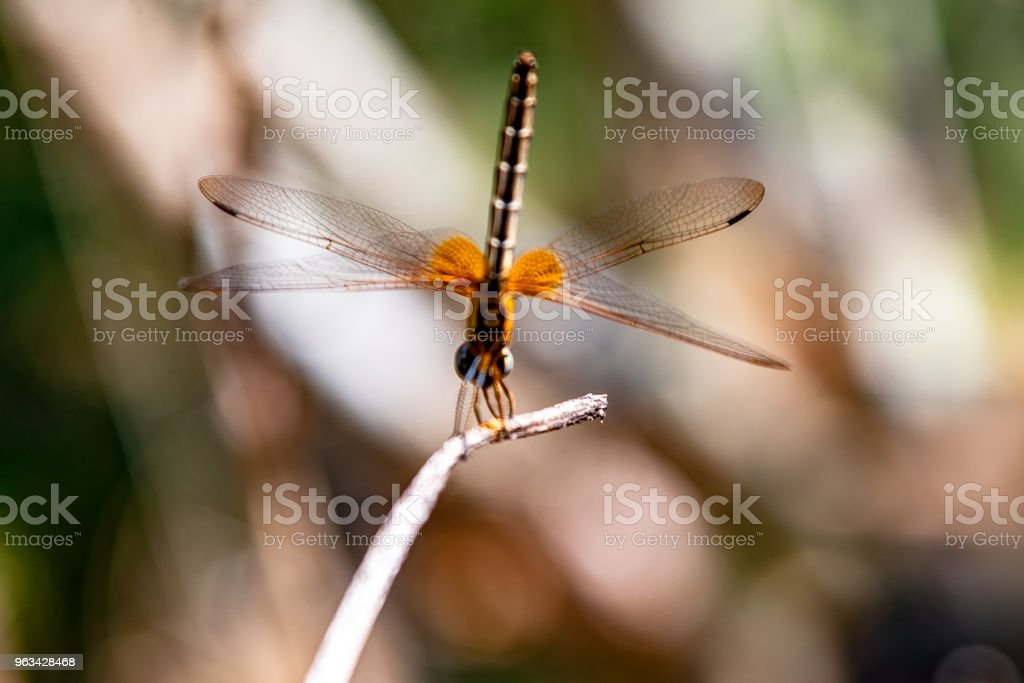 Yellow Dragonfly Perched On A Branch Top Of Tree, (selective focus) - Zbiór zdjęć royalty-free (Abstrakcja)