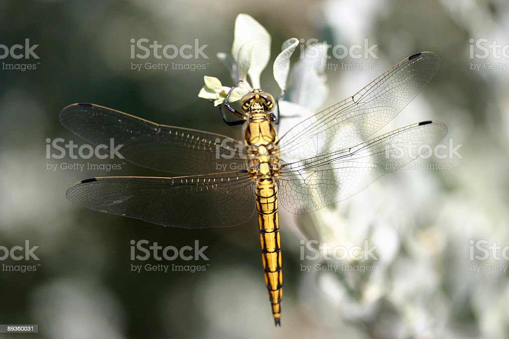 Yellow Dragonfly royalty-free stock photo