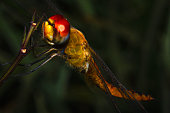 A yellow dragonfly resting on the plant branches in a close-up picture