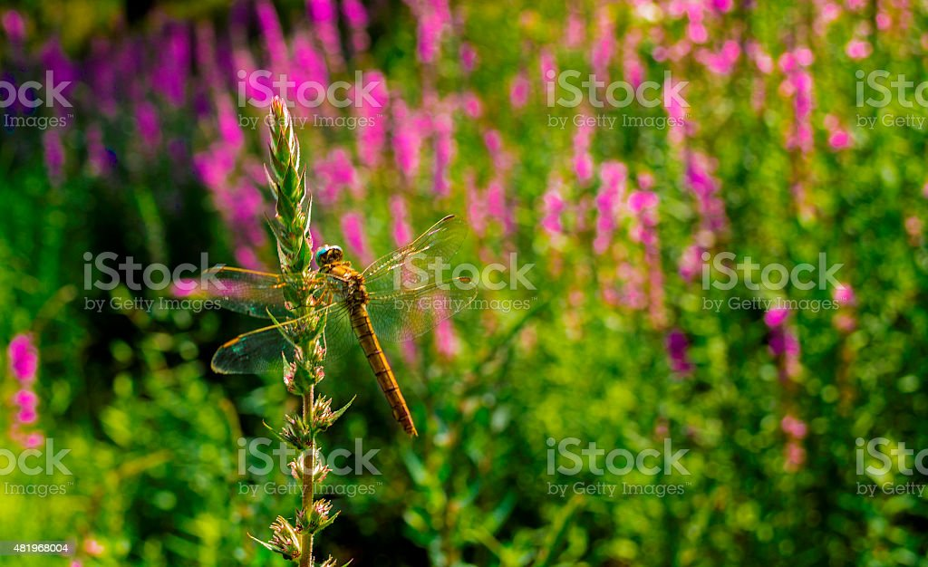 Yellow dragonfly resting on the stem of a herbaceous plant stock photo