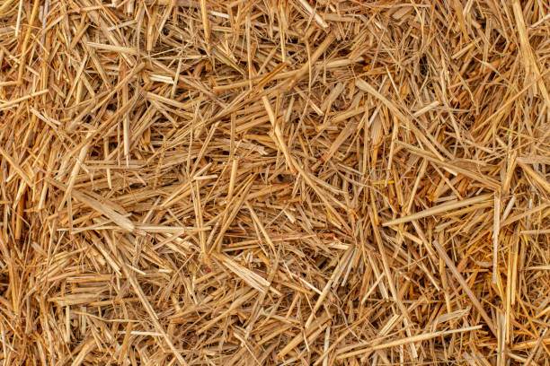 Yellow dry hay straw backdrop texture. Dry cereal plants, farm rural agricultural. Yellow dry hay straw top view, background backdrop texture. Dry cereal plants, farm rural agricultural. hay stock pictures, royalty-free photos & images