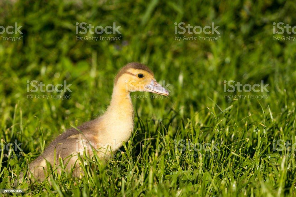 Yellow Duckling - foto stock