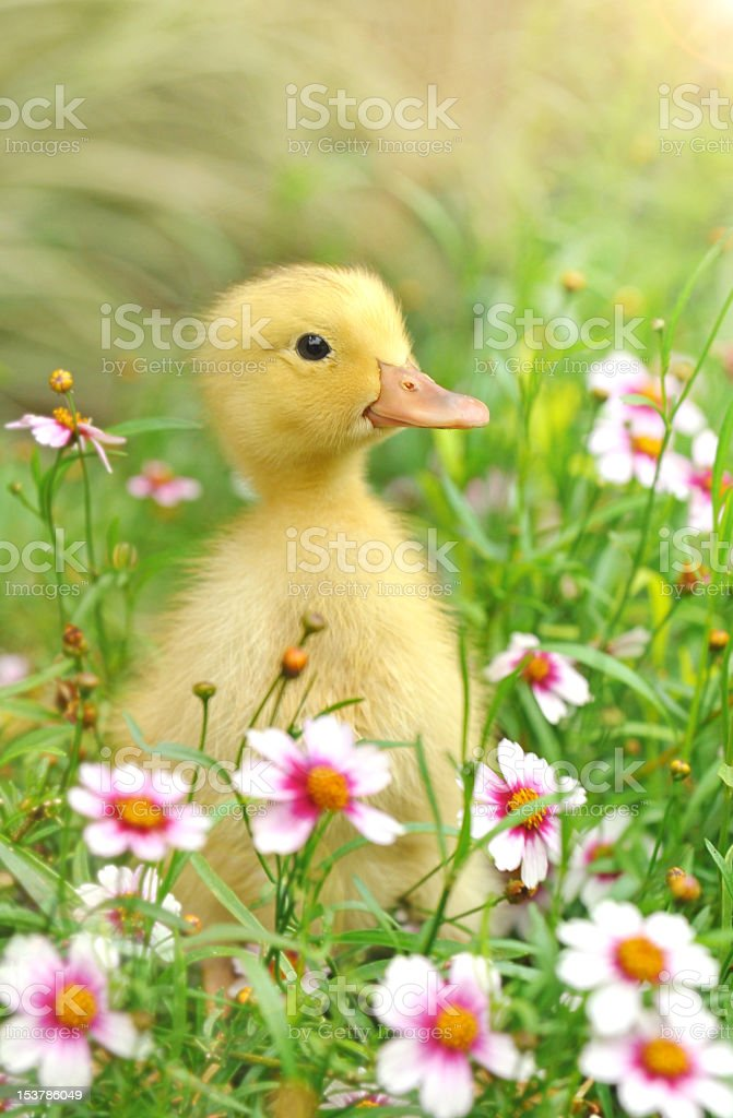 Yellow duckling sitting amongst grass and flowers stock photo