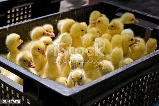 Close-up of yellow ducklings sitting in black box