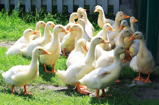 istock yellow ducklings on natural green background 1006009976